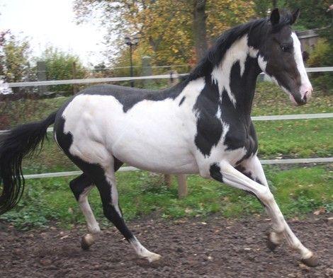 Thoroughbred stallion, Ellusive Look, frame overo (LWO ...