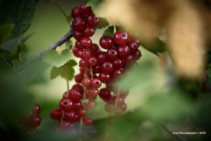 E' tempo di piccoli frutti, ribes coltivato in Valtellina. ph #Previsdomini