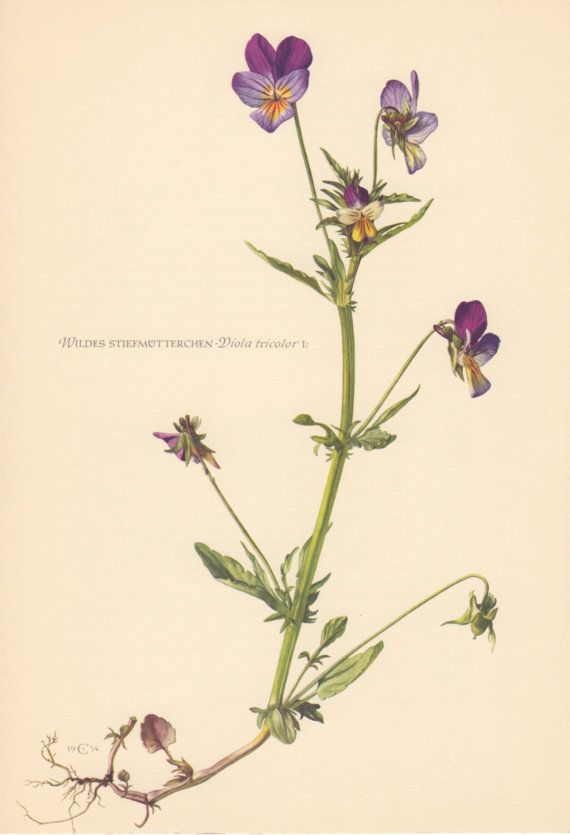 1954 Wild Pansy Antique Print Vintage Lithograph by Craftissimo, €12.95