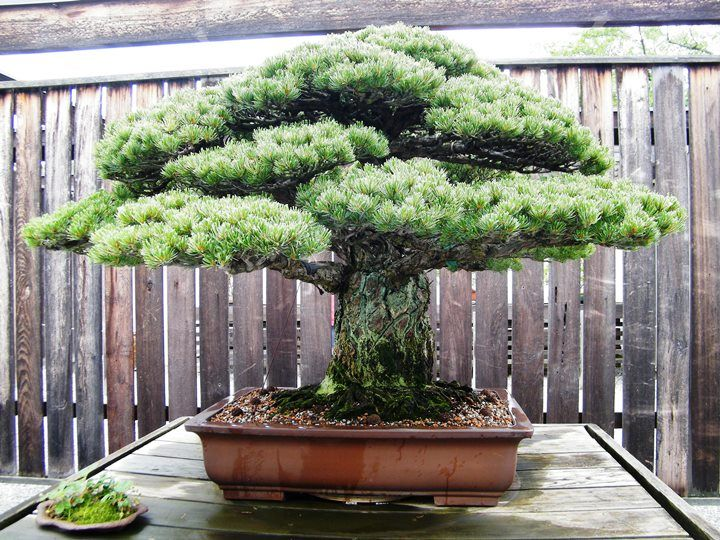The Bonsai that survived the Hiroshima atomic bomb. See: www.bonsaiempire.com/blog/oldest-bonsai-trees  This tree has been trained into a Bonsai for almost 400 years, the result of 6 generations of hard work and patience by the Yamaki family. But what makes it really special is that it was in Hiroshima when the atomic bomb fell in 1945. #bonsai #tree #nature #oldest #trees #japan #hiroshimaBonsai Trees, Sagrado Bonsai, Bonsai Approach, Beautiful Trees, Bonsai 盆景, You, 400 Years, Bonsai Beautiful,  Flowerpot