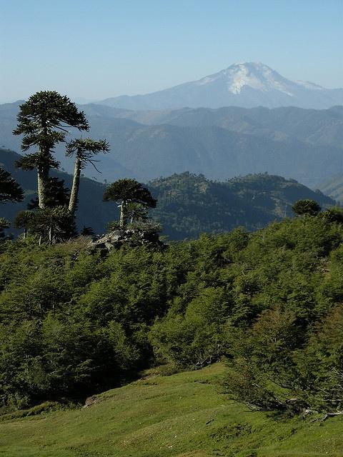 Volcán Callaqui y araucarias, Chile.