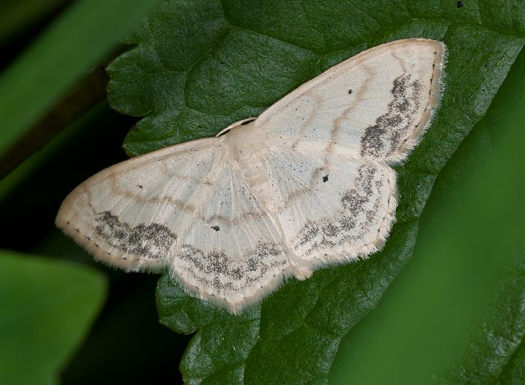 Are Pantry Moths Dangerous To Eat 78 Best Moths Images On
