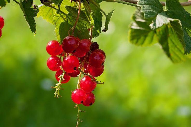 Ríbezle – zázračné účinky a lahodná chuť