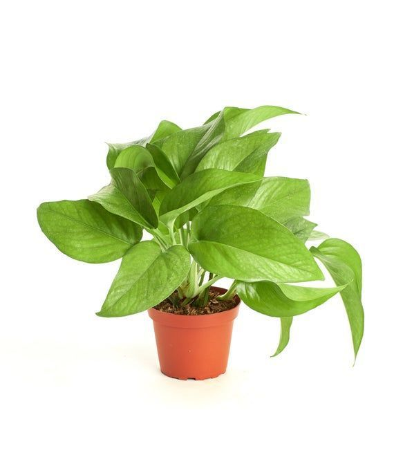 Pothus Naturally Air Cleaning Easy To Care For Indoor Houseplant In A 4 Inch Pot 4 Inch Pull In 2020 House Plants House Plants Indoor Plants