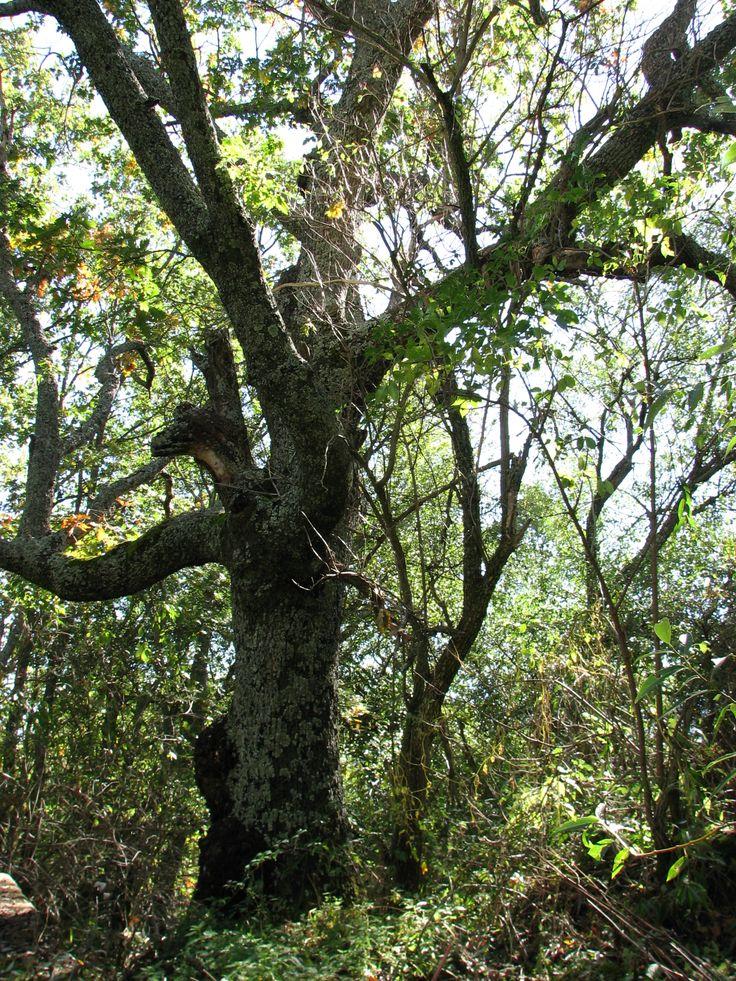 Alrededor de Tremedal existen robledales frondosos donde recolectar exquisitas setas.