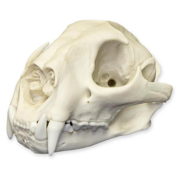 Skulls Unlimited International Inc Dog Skull Skull Animal Skulls