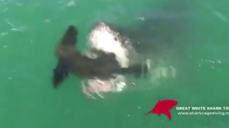 This is the fearsome moment a great white shark devours a fleeing seal whole metres away from a fishing boat filming the encounter. Cage-divers filming benea...