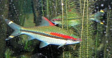 Denison Barb - Puntius denisonii: Denison's Barb