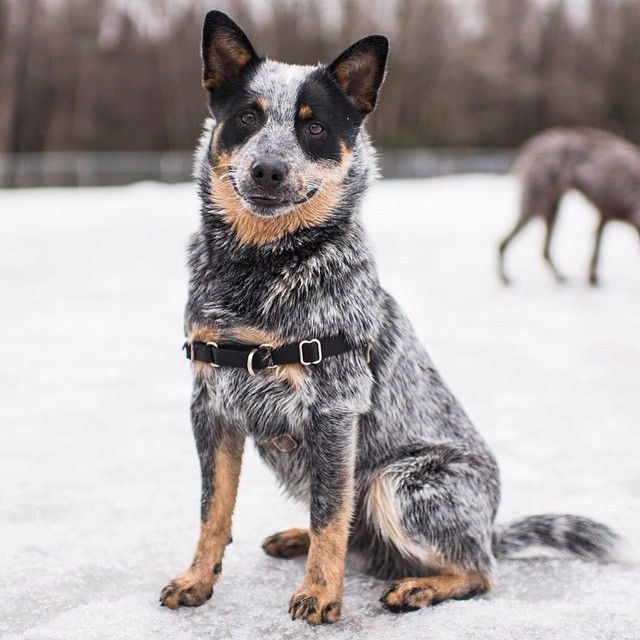 thedogist:Charlie, Australian Cattle Dog (8 m/o), Valley of the Moon Park, Anchorage, AK