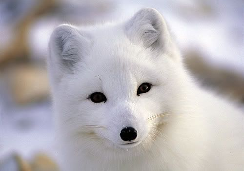 This little guy is an Arctic fox. He's endangered due to ...