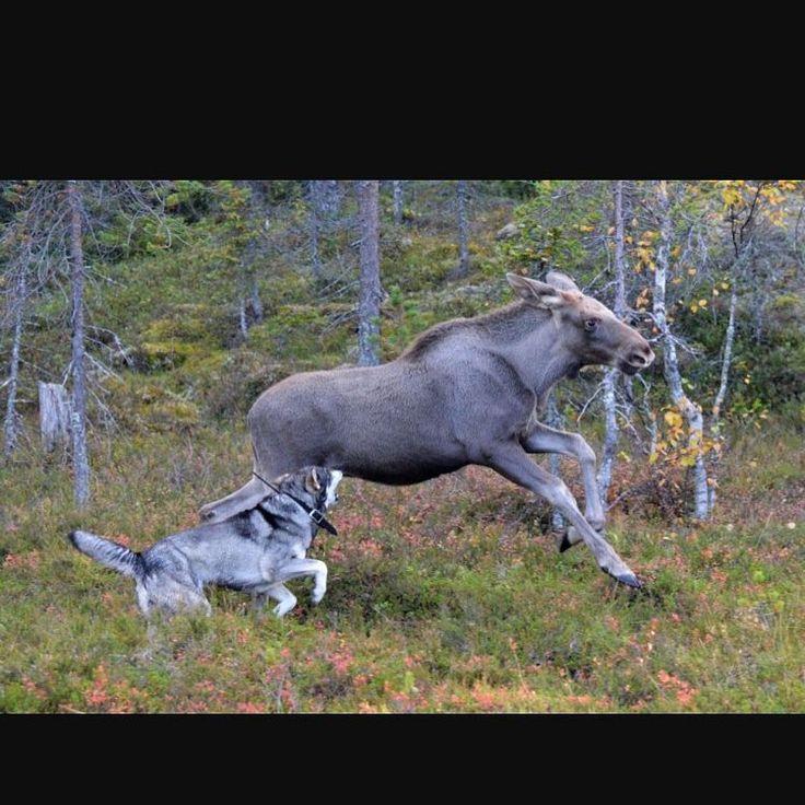 Här gäller det att ha tungan rätt i mun och skjuta vid rätt tillfälle, så inte hunden riskerar att träffas av skottet ��  #jakt #älgjakt #moosehunting http://misstagram.com/ipost/1549188462242711656/?code=BV_0rLOHEho
