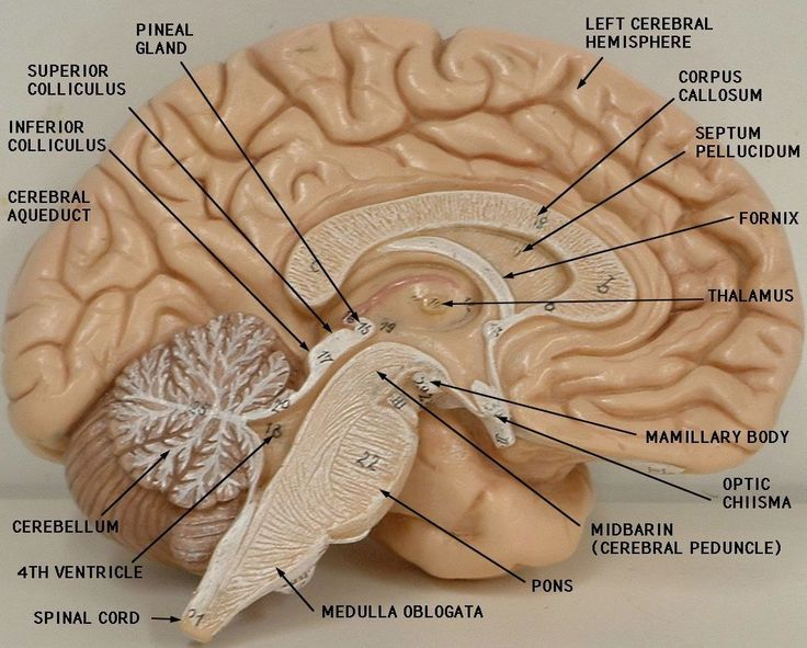 Labeled Brain Model - Bing Images