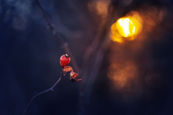 https://flic.kr/p/25cQY96 | Rose hip | Lonely rose hip on a cold winter sunset.  Thanks for all visits, comments & Favs! I would be greatful if you follow me in flickr  Have a nice day! :)   NO images//awards//graphics please! © 2018, All Rights Reserved.    Explore - macro ||  Facebook || 500px  ||  Twitter  ||   1x