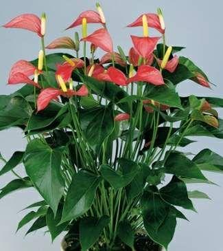 Flamingo Flower ~ Araceae Anthurium