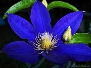 Terry Anderson - Spring Clematis