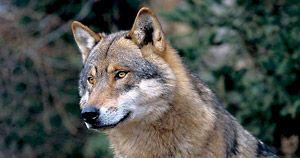 Des animaux exceptionnels : Parc Alpha, les loups du Mercantour (06)