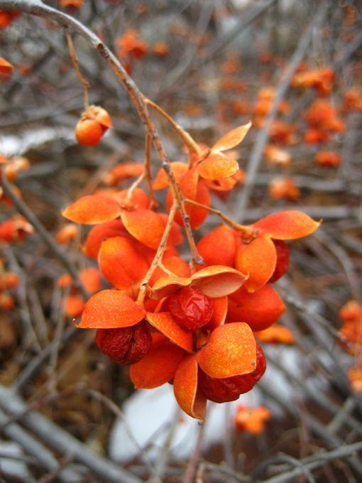 Unusual native vine with striking orange berries
