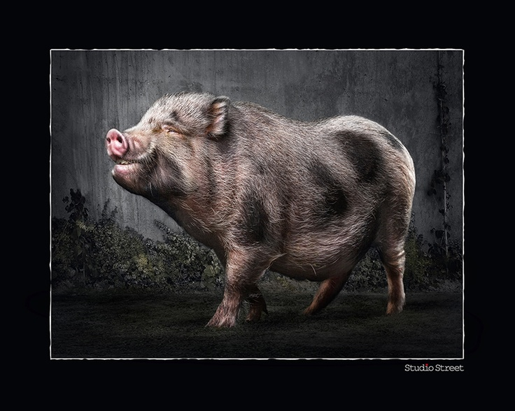 Portrait Photographer of the Year 2013 finalist, 1st at Animal Portrait category - Oink i hate christmas