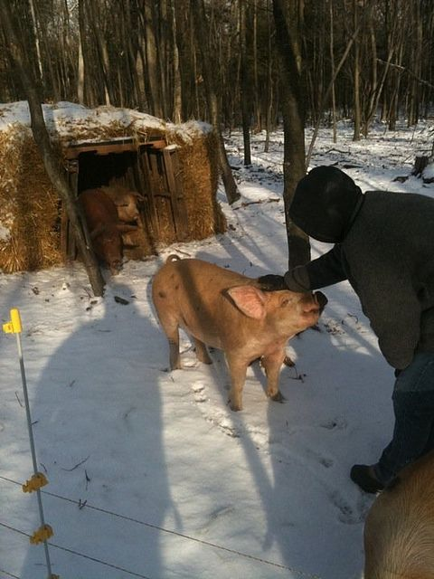 With the straw bale and wood pallet plus the pigs' body heat and propensity to snuggle, our pigs stay more than warm in the winter.