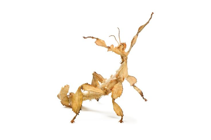 Spiny Leaf Insect Extatasoma Tiaratum They Eat