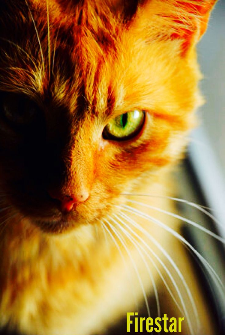 Firestar, This Brave Thunderclan Leader First Started Out As A Kittypet  Named Rusty, And