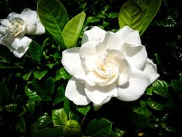 Gardenia is an evergreen plant, with beautiful pure white colored flowers. They are low-maintenance plants, but one still has to follow basic plant care instructions, and more importantly, follow special gardenia care in winter.