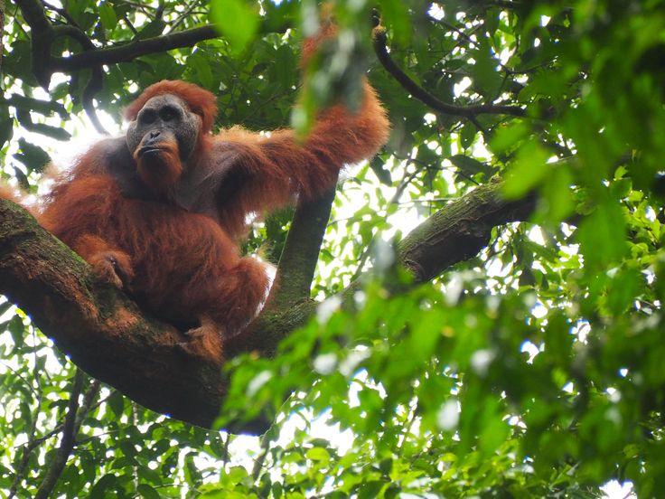 Sumatran orangutan (male), taken in the Gunung Leuser National Park in North Sumatra