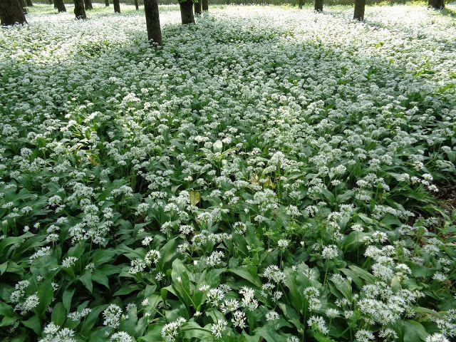 Allium ursinum al Parco di Monza -  Foto-diario di una giardiniera curiosa