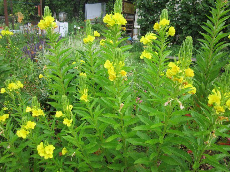 Высокие виды энотеры обычно высаживают на заднем плане любого цветника. Они прекрасно сочетаются с рудбекией, колокольчиком, лилейниками и однолетним дельфиниумом.