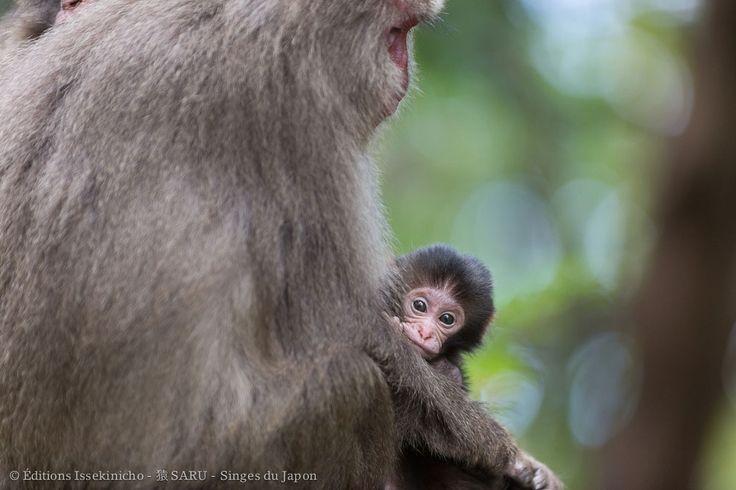 """Jeune macaque japonais sur l'île de Yakushima, Japon - Photo extraite du livre """"Saru, singes du Japon"""" Editions Issekinicho 2016"""