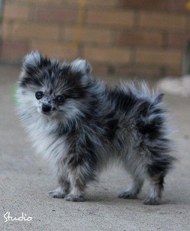 Blue Merle Pomeranian. Omg! Where do I find one! Arghhhh!