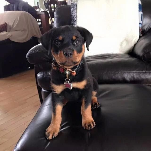 Explore Our Web Site For Additional Details On Rottweiler It Is Actually An Outstanding Spot To Read Puppy Cuddles German Rottweiler Puppies Rottweiler Love