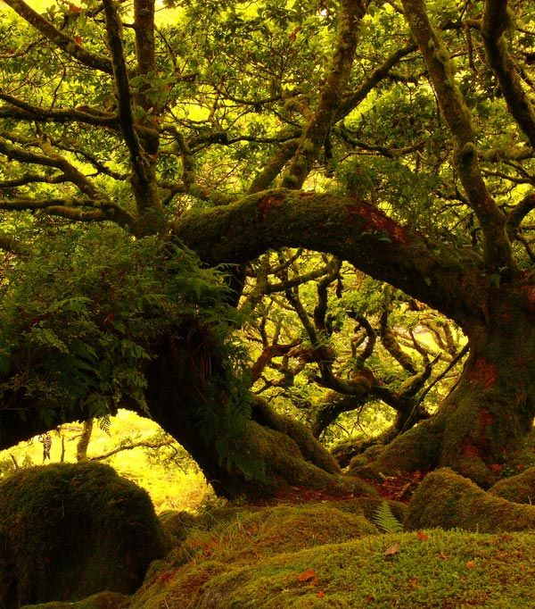 Wistman's Wood in Dartmoor. Devon, England.    Magical, magical, magical! K