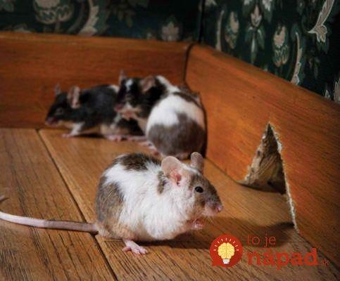 V pivnici skaldujeme úrodu – zemiaky a ďalšiu zeleninu, takže počítame s tým, že sa môžu na jeseň o ňu začať zaujímať myši. Tento rok to však bolo horšie, hlavne preto, že myši sme mali aj vo vnútri – na poschodí. Nejakým spôsobom sa dostali aj do potravinovej komory a určite si viete predstaviť, akú...