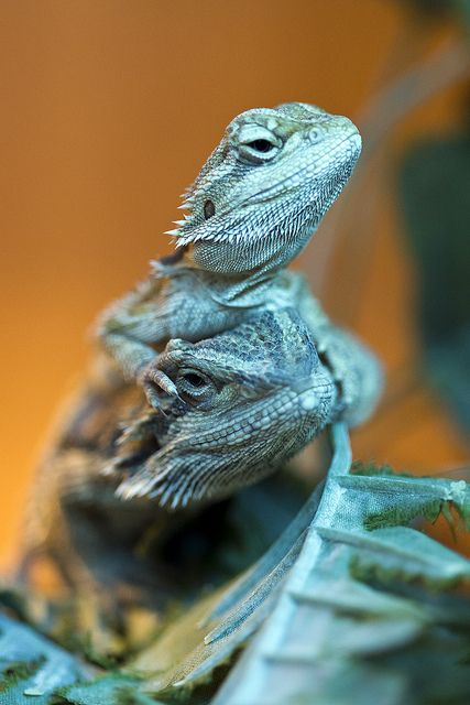 Bearded Dragons 'Time for a head massage'
