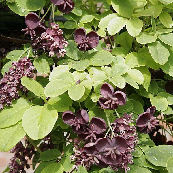 17 meilleures id es propos de plante grimpante feuillage persistant sur pinterest arbre - Plante retombante feuillage persistant ...
