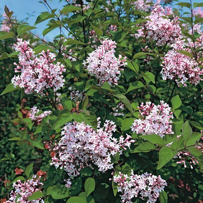 syringa microphylla 39 superba 39 tuinideetjes pinterest shrub plants and gardens. Black Bedroom Furniture Sets. Home Design Ideas