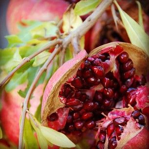 Harvesting Pomegranates in preparation for Halloween cocktails! We're making blood red Pomegranate Martinis -- can't wait! Homestead Design Collective.