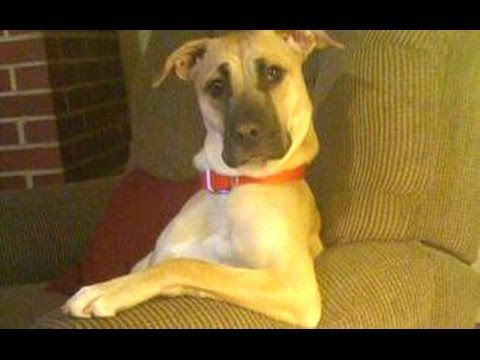 Check out these funny dogs behaving like humans. It's a compilation of funny dog videos of dogs acting like humans.