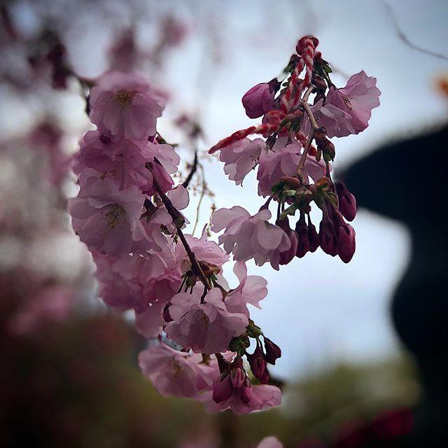 Cherry Blossom portraitmode Iphone 8 plus #cherryblossom #kungsträdgården #portraitmodeiphone8plus #stockholm #sweden #visitstockholm #visitsweden #ig_sweden #capitalofscandinavia #photobydavidfeldt #travel #ttot