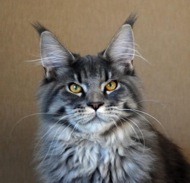 Maine coon cat m