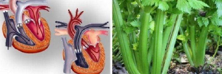Selder is ongetwijfeld één van de meest erkende groenten ter wereld, en één van de gezondste groenten  die je kunt eten. Sommigen beweren ook dat selder zogenaamd calorie deficiënt i