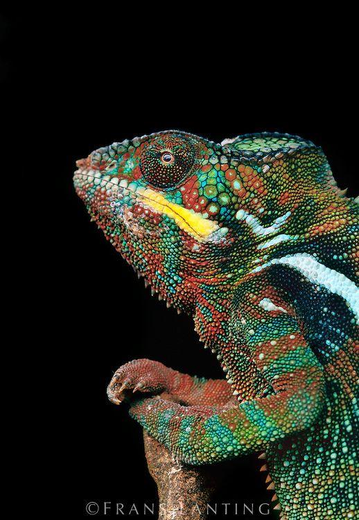 216 best images about chameleons on Pinterest | Madagascar ...