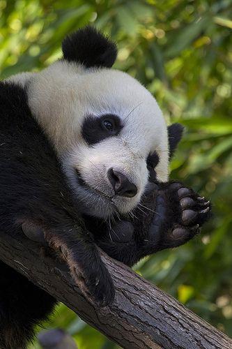 Panda - Page 3 50b05a59bd7a5d9e6a3205842e8d27a6
