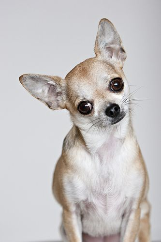 My little Chica the chihuahua