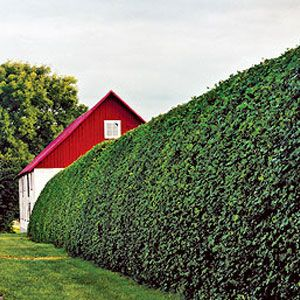Without regularly watering, feeding and pruning, your hedges can become unruly. Click in for five common mistakes when it comes to hedges and how to avoid them, courtesy of This Old House.