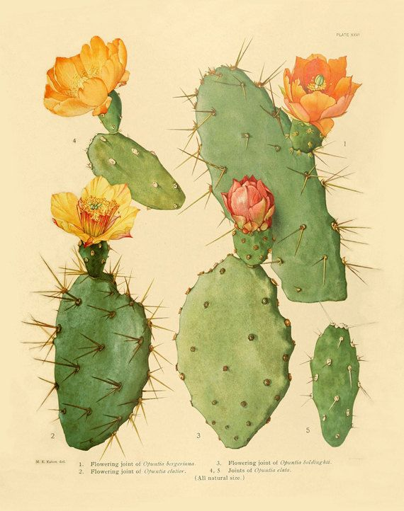 Vintage cactus art print Antique prints by AntiqueBotanicalArt