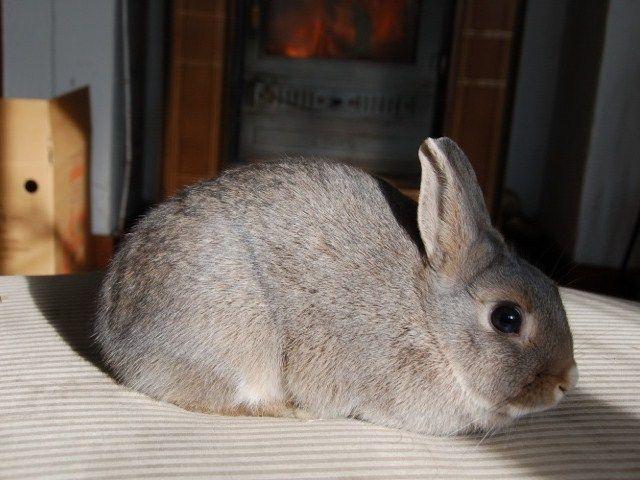[AAE Cerco casa] Trilly è una piccola giovane coniglietta di razza nana che attualmente vive in gabbia. E molto buona ma tanto timida, ha bisogno di essere rassicurata con pazienza e dolcezza che saprà ricompensare quando capirà di essere amata.