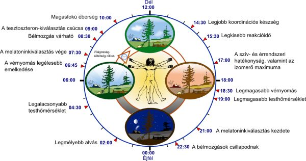 Biological_clock_human_hu