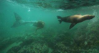 Real Mermaid Sightings   Mermaid sightings are rare. Canadian mermaids seem even rarer. So I ...